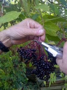 An image of elderberries being picked
