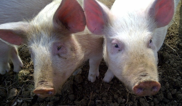 Image of a pair of piglets