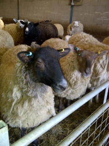 Image of Texel sheep