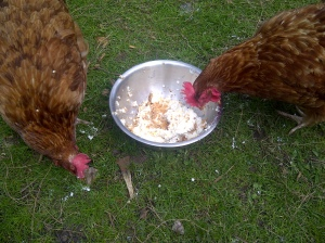 Hens eating the leftovers