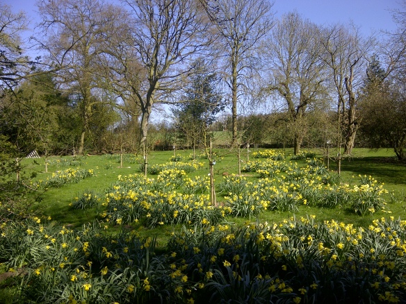 Image of daffodils in orchard