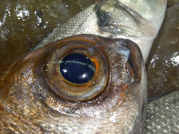 Image of fish eye close-up
