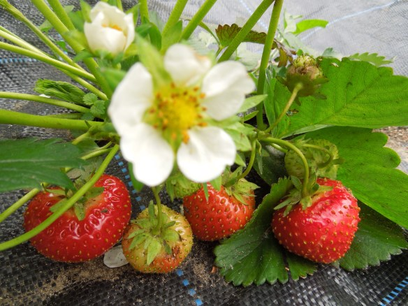 Image of a strawberry plant