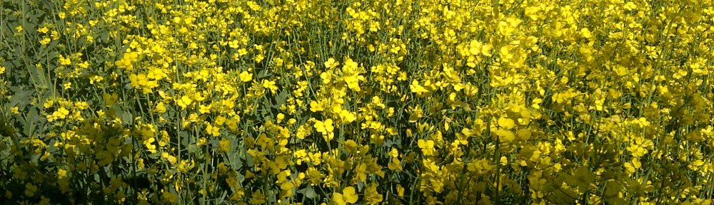 Image of rapeseed flowering