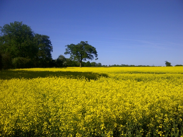 Image of a field of oilseed rape