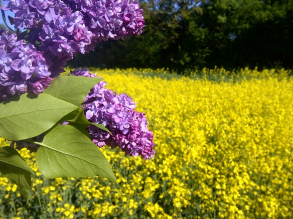 Image of lilac flowers against a field of yellow rape
