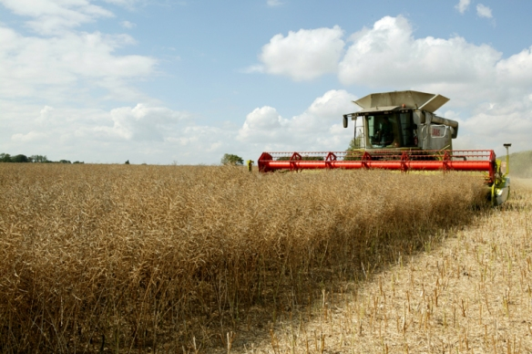 Harvesting the rapeseed: copyright Hillfarm Oils