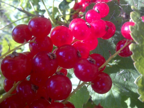 Image of a cluster of redcurrants hanging from the bush