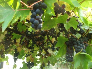 Image of grapevine