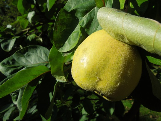 Image of quince growing on tree