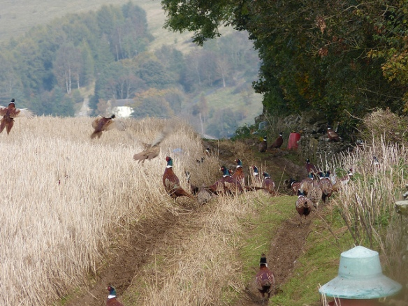 Image of lots of pheasants near feeders in a field