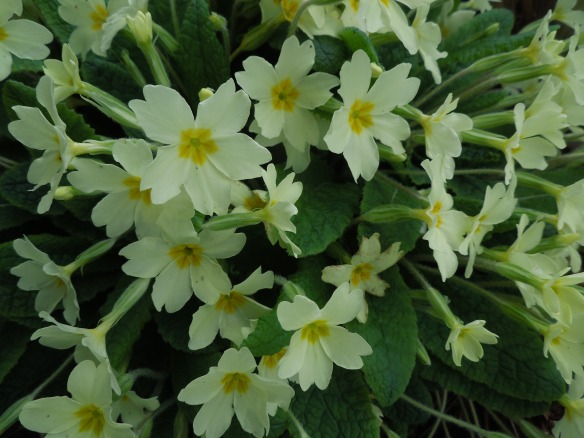Image of primroses growing in the garden