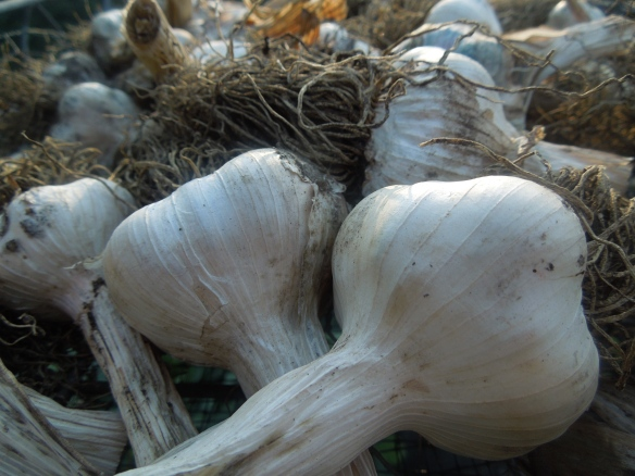 Image of a tray of fresh garlic