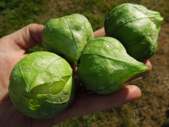 Image of a handful of tomatillos