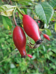 Image of rosehips growing