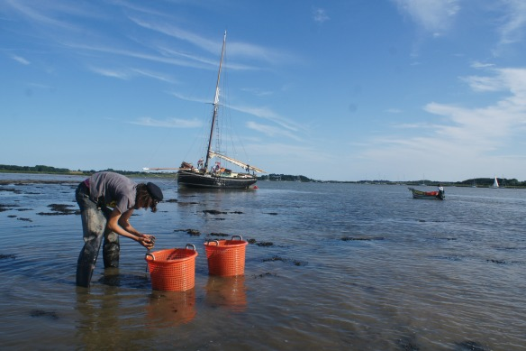 Image of mussels being harvested