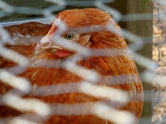 Image of hen