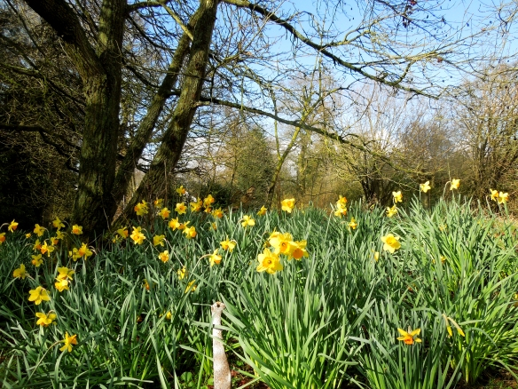 Image of daffodils in the garden