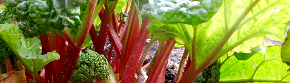 Image of rhubarb growing in the garden