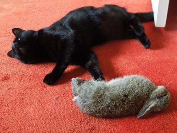 Image of kitten with rabbit