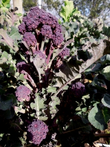 Image of purple sprouting broccoli in the garden