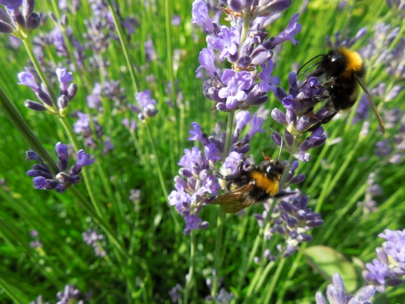 Image of bees on lavender plants