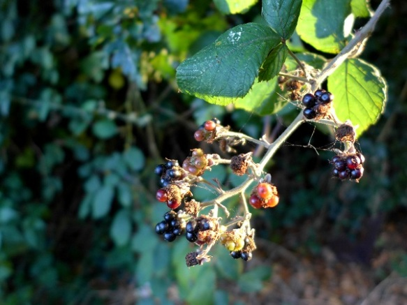 Image of blackberries in a hedgerow