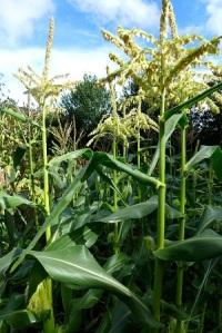 Image of sweetcorn plants
