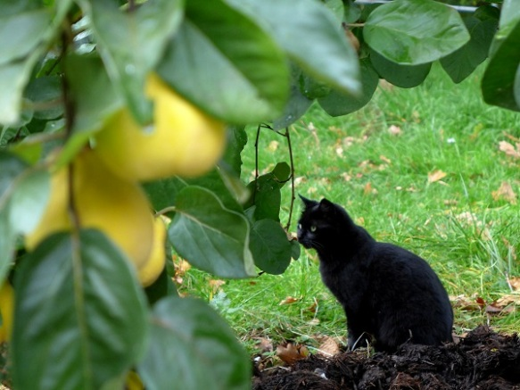 Image of cat with quince tree