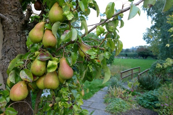 Image of pear tree