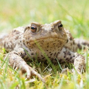 Image of common toad