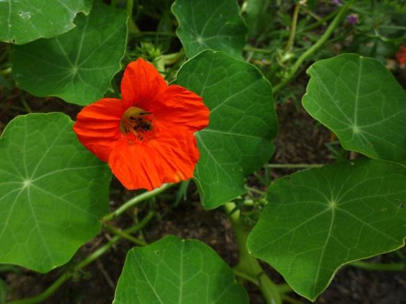 Image of nasturtium flower