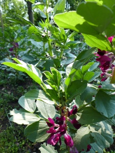 Image of broad bean plants in flower
