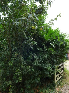 Image of apple tree