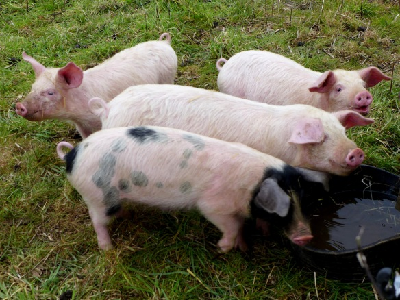 Image of weaner pigs