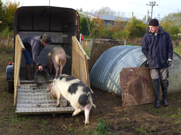 Image of pigs being loaded into trailer
