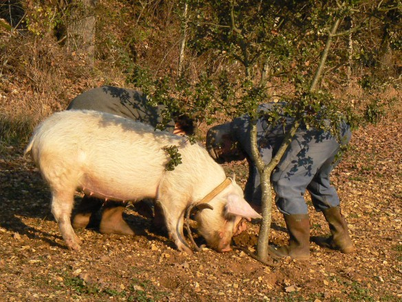 Image of truffle-hunting pig