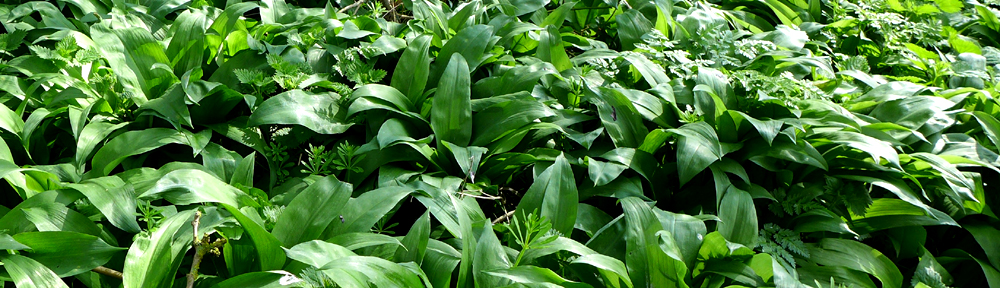 Image of wild garlic