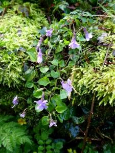 Image of violets