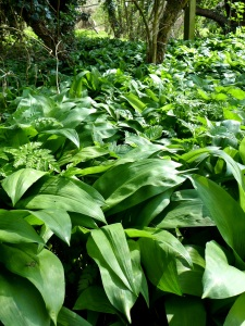 Image of wild garlic in woods