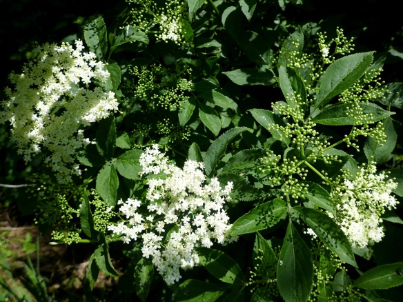 Image of elderflower bush