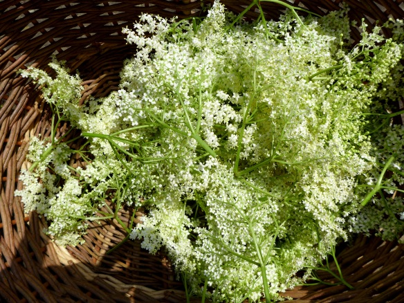 Image of elderflowers