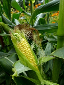 Image of sweetcorn growing