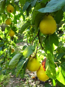 Image of quince tree
