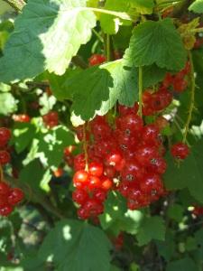 Image of redcurrant bush