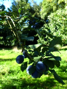 Image of damson tree
