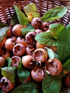 Image of a basket of fresh medlars